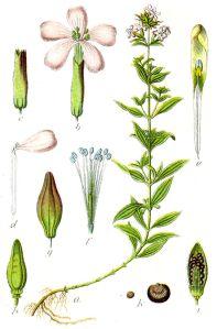 Caryophyllaceae_sp_Sturm25